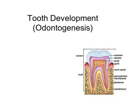 Tooth Development (Odontogenesis)