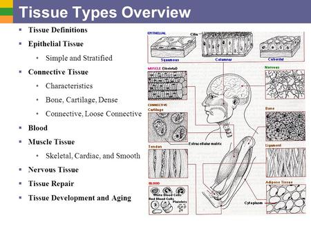 Tissue Types Overview Tissue Definitions Epithelial Tissue