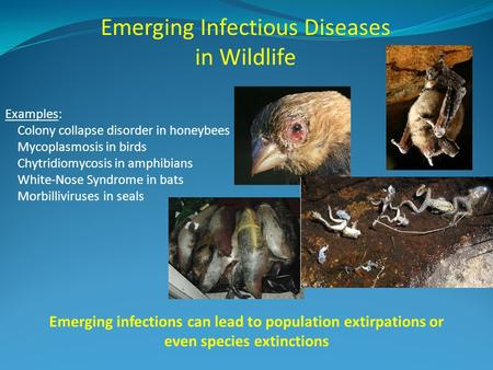 Emerging Infectious Diseases in Wildlife Examples: Colony collapse disorder in honeybees Mycoplasmosis in birds Chytridiomycosis in amphibians White-Nose.