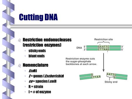 Cutting DNA b Restriction endonucleases (restriction enzymes) sticky endssticky ends blunt endsblunt ends b Nomenclature EcoRIEcoRI E = genus (Escherichia)E.