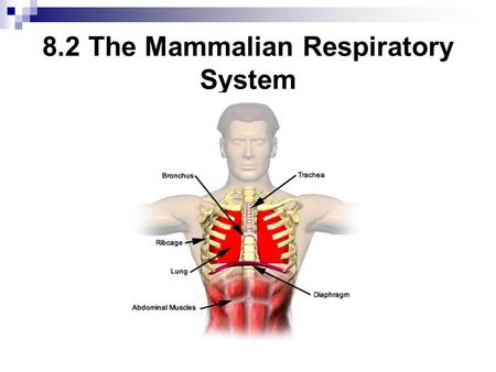 8.2 The Mammalian Respiratory System. The Respiratory System Respiration: The exchange of oxygen & carbon dioxide between an organism & its external environment.