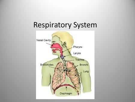 Respiratory System. Bring oxygen into body & remove carbon dioxide and other gaseous wastes Gas exchange = respiration Interacts w/ circulatory system.