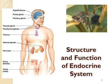 The endocrine system and its functions Custom paper Academic Writing ...
