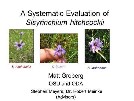 A Systematic Evaluation of Sisyrinchium hitchcockii Matt Groberg OSU and ODA Stephen Meyers, Dr. Robert Meinke (Advisors) S. hitchcockiiS. bellum S. idahoense.