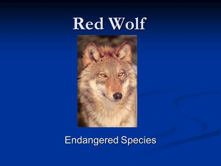 Red Wolf Endangered Species.