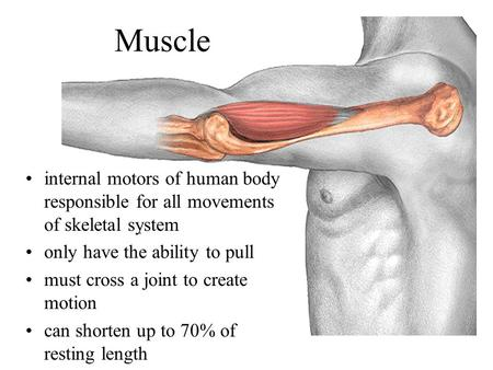 Muscle internal motors of human body responsible for all movements of skeletal system only have the ability to pull must cross a joint to create motion.