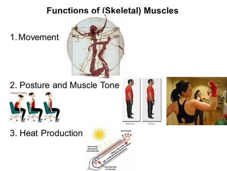 Functions of (Skeletal) Muscles 1.Movement 2. Posture and Muscle Tone 3. Heat Production.