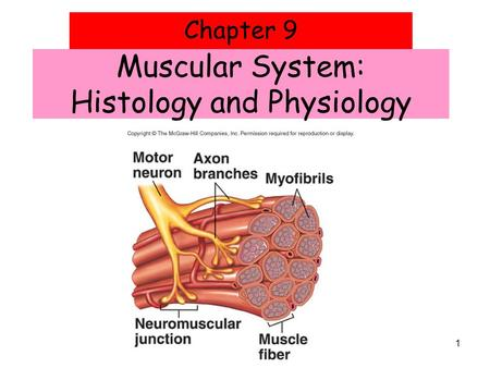 1 Chapter 9 Muscular System: Histology and Physiology.