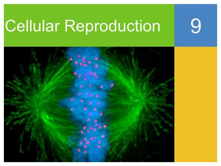 Cellular Reproduction 9. The Big Idea Cells go through a life cycle that includes interphase, mitosis, and cytokinesis.