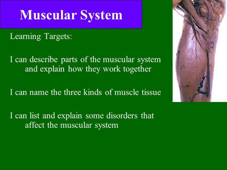 Muscular System Learning Targets: