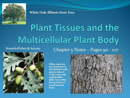 Chapter 5 Notes – Pages 90 - 107 1 White Oak, Illinois State Tree White oak trees have bark that is off-whitish to ashy gray in color. It can be very scaly.