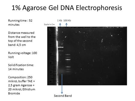 1% Agarose Gel DNA Electrophoresis Running time : 52 minutes Distance measured from the well to the top of the second band: 4,5 cm Running voltage: 100.