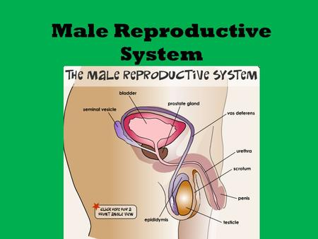"Male Reproductive System. Male Reproductive Systems: For Discussion: True or False? 2. Sperm cells are considered by a man ' s immune system as "" non-self."