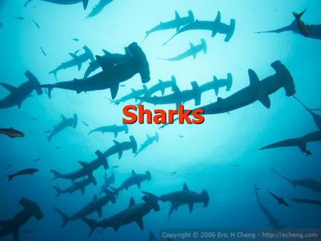 Sharks. My favourite animal is the white shark. Sharks are very interesting animals and they are huge,too: (6-8 m, 2 t)