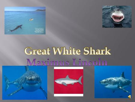 Great White Shark Maximus Lincoln.