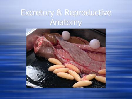 Excretory & Reproductive Anatomy. Excretory & Reproductive - Close anatomical ties  Typical vertebrate arrangement  Excretory and reproductive anatomy.