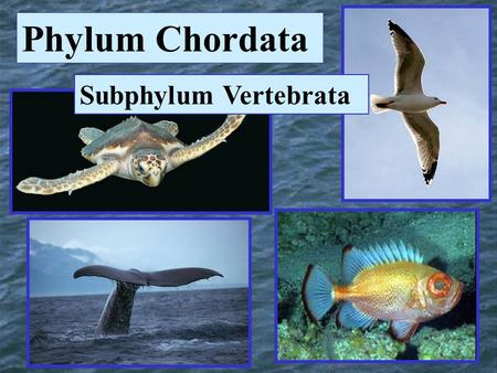 Phylum Chordata Subphylum Vertebrata. Fishes Chapter 8.