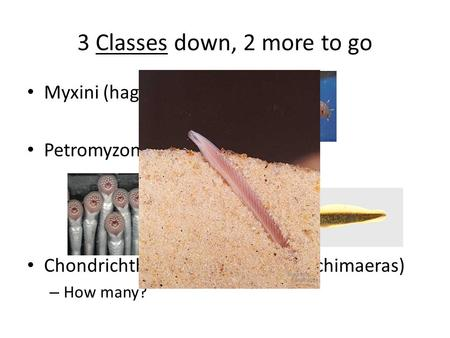 3 Classes down, 2 more to go Myxini (hagfishes) Petromyzontida (lampreys) Chondrichthyes (sharks, rays and chimaeras) – How many?