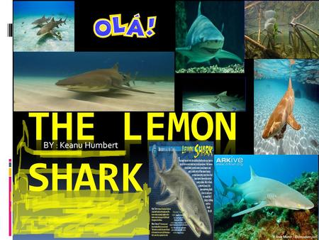 BY : Keanu Humbert Habitat Lemon Sharks are found in New Jersey to southern Brazil in the tropical western Atlantic Ocean. They also live off the coast.