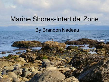Marine Shores-Intertidal Zone By Brandon Nadeau. The intertidal zone, as you can see, is full of amazing life forms. Which have to survive ever changing.