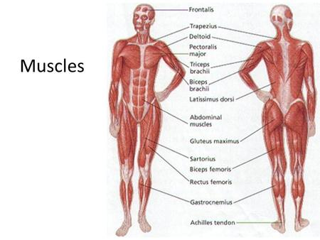 bell ringer muscle facts: you can write your answer on the back of, Muscles