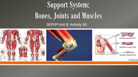  SEPUP Unit B: Activity 16. Functions Skeletal System (aka Bones) SupportMovement Protect internal organs Make blood cells Maintain body's calcium balance.