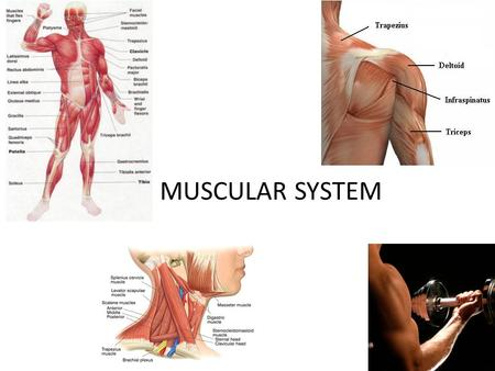 MUSCULAR SYSTEM. DateAssignmentVocabularyPage # 11/ /12Muscular System Notes Muscle, involuntary muscles, voluntary muscles 6.