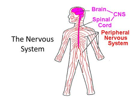 The Nervous System. Video Anticipation Statements Pain happens only in your head. Anyone can be hypnotized. Nerves don't actually touch each other. Not.