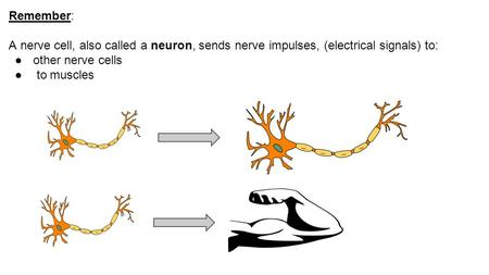 Remember: A nerve cell, also called a neuron, sends nerve impulses, (electrical signals) to: ●other nerve cells ● to muscles.