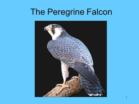1 The Peregrine Falcon. 2 Background Decline in peregrine population between the 1930's and 1960's –Human egg collectors falconers shooters –DDT Peregrine.