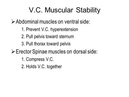 V.C. Muscular Stability  Abdominal muscles on ventral side: 1. Prevent V.C. hyperextension 2. Pull pelvis toward sternum 3. Pull thorax toward pelvis.
