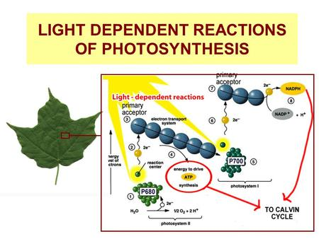 LIGHT DEPENDENT REACTIONS OF PHOTOSYNTHESIS. (1) As light falls upon the pigments of the chloroplast, energy causes the electrons in photosystem II (p680)