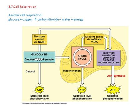 3.7:Cell Respiration Aerobic cell respiration: glucose + oxygen  carbon dioxide + water + energy.