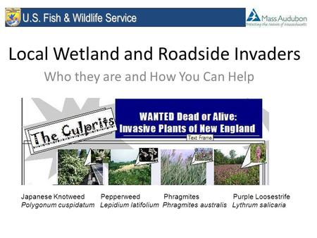 U.S. Fish & Wildlife Service U.S. Fish & Wildlife Service Local Wetland and Roadside Invaders Who they are and How You Can Help Japanese Knotweed Pepperweed.