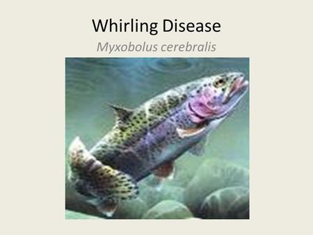 Whirling Disease Myxobolus cerebralis. The Facts Parasitic disease Only affects fish of the Salmonidae family Does not infect humans or mammals No cure.