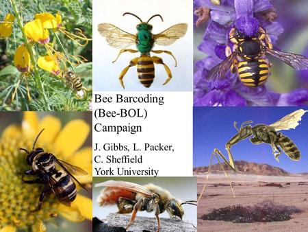 Bee Barcoding (Bee-BOL) Campaign J. Gibbs, L. Packer, C. Sheffield York University.