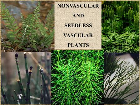 NONVASCULAR AND SEEDLESS VASCULAR PLANTS.