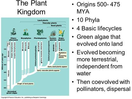 The Plant Kingdom Origins 500- 475 MYA 10 Phyla 4 Basic lifecycles Green algae that evolved onto land Evolved becoming more terrestrial, independent from.