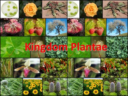 Kingdom Plantae. Overview Autotrophic Eukaryotes First group of truly multi-cellular organisms –Allows for specialization and organization of structures!