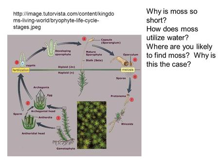 Why is moss so short? How does moss utilize water? Where are you likely to find moss? Why is this the case?