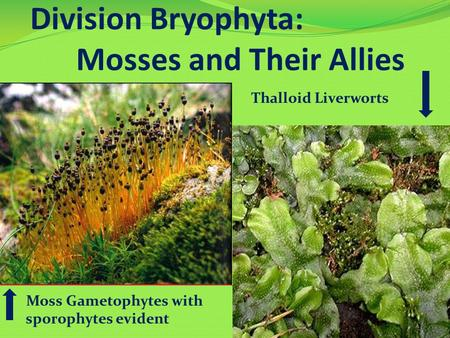 Division Bryophyta: Mosses and Their Allies Moss Gametophytes with sporophytes evident Thalloid Liverworts.