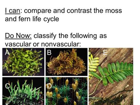I can: compare and contrast the moss and fern life cycle Do Now: classify the following as vascular or nonvascular: ABE CD.