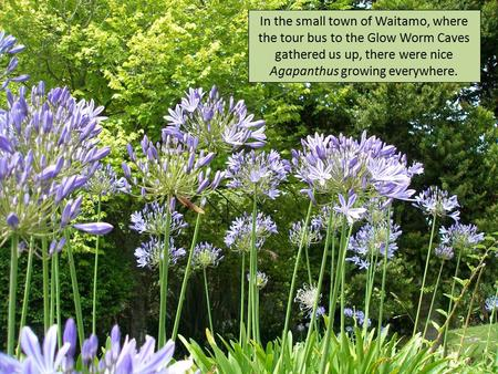 In the small town of Waitamo, where the tour bus to the Glow Worm Caves gathered us up, there were nice Agapanthus growing everywhere.