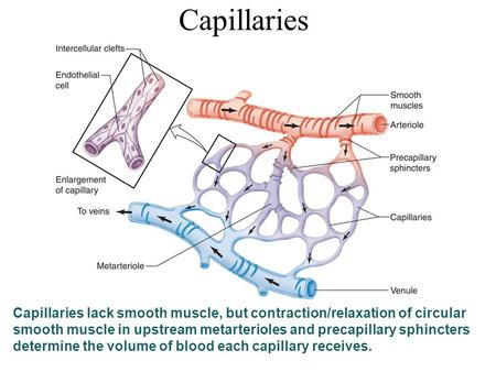 Capillaries Capillaries lack smooth muscle, but contraction/relaxation of circular smooth muscle in upstream metarterioles and precapillary sphincters.