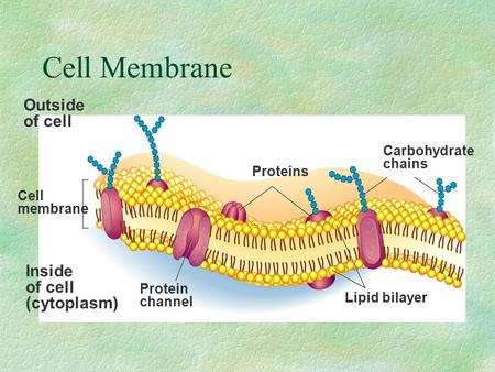 Cell Membrane Outside of cell Inside (cytoplasm) Carbohydrate chains