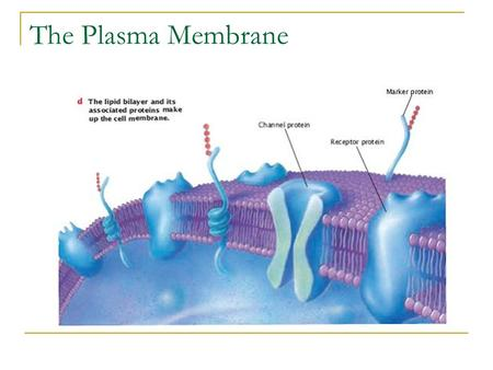 The Plasma Membrane. Plasma Membrane The outer layer of a cell is semi-permeable. Semi-permeable means that only certain molecules can pass through it.