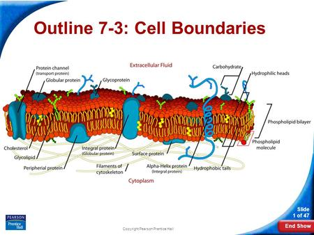 End Show Slide 1 of 47 Copyright Pearson Prentice Hall Outline 7-3: Cell Boundaries.