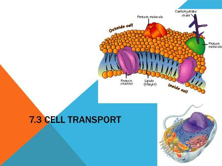 7.3 CELL TRANSPORT 2006-2007. Function of the Cell Membrane: Cell membrane separates the components of a cell from its environment—surrounds the cell.