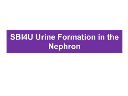 SBI4U Urine Formation in the Nephron