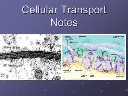 "Cellular Transport Notes. The Purpose of the Plasma Membrane is to Maintain an Internal Balance called ""HOMEOSTASIS"" or ""To Reach Dynamic Equilibrium"""""